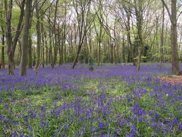 Bluebells Wanstead
