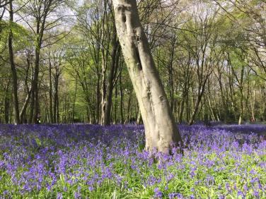 Bluebells Wanstead